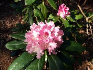 R. caucasicum 'Pictum' caucasicum hybrid listed by Standish & Noble 1853 1st April 2012