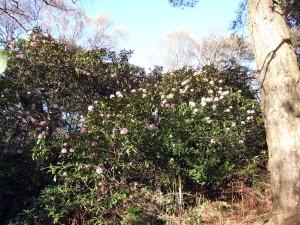caucasicum 'Pictum' trees in Park Wood1st April 2012