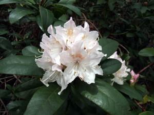 R. 'Cunningham's White'caucasicum x white-flowered ponticumregistered by J. Cunningham c 183027th April 2012