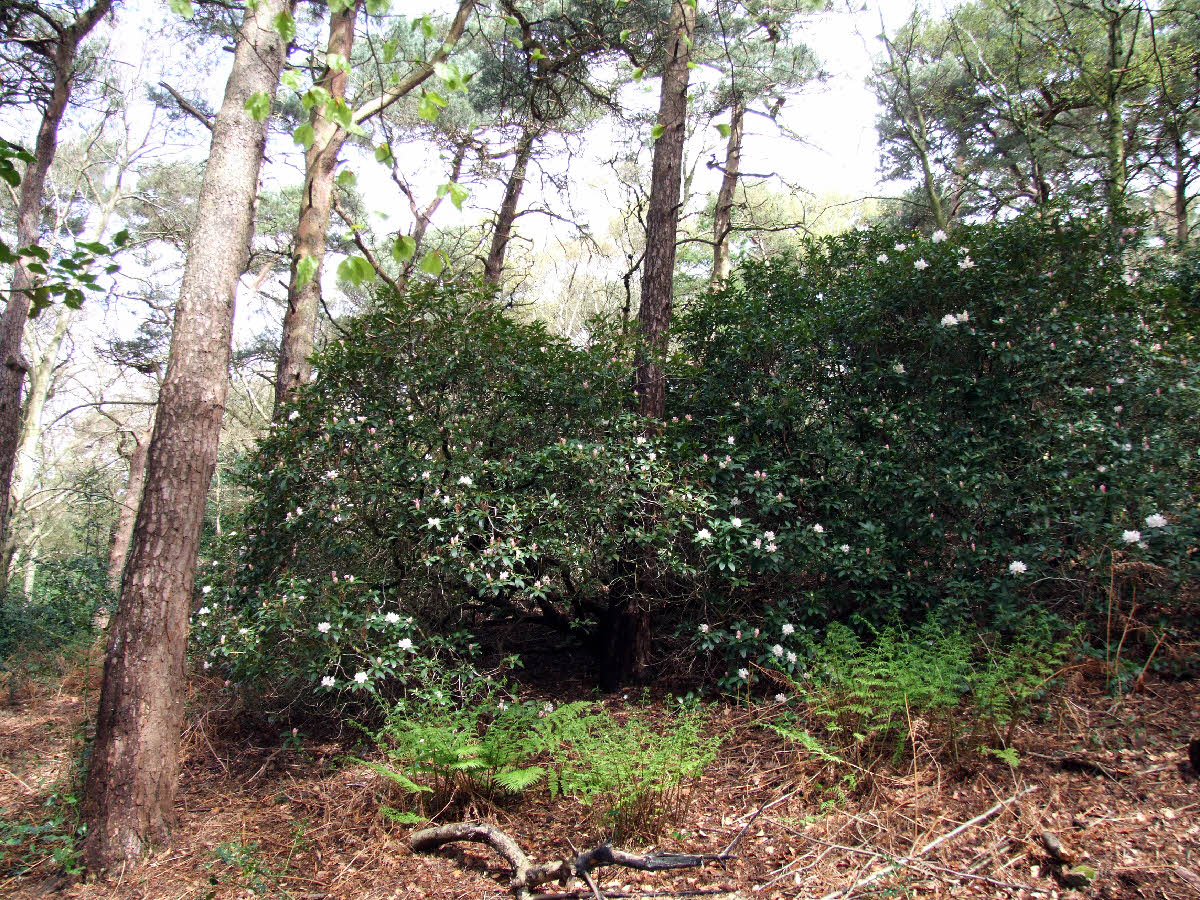 """Cunningham's White"" trees in Park Wood"