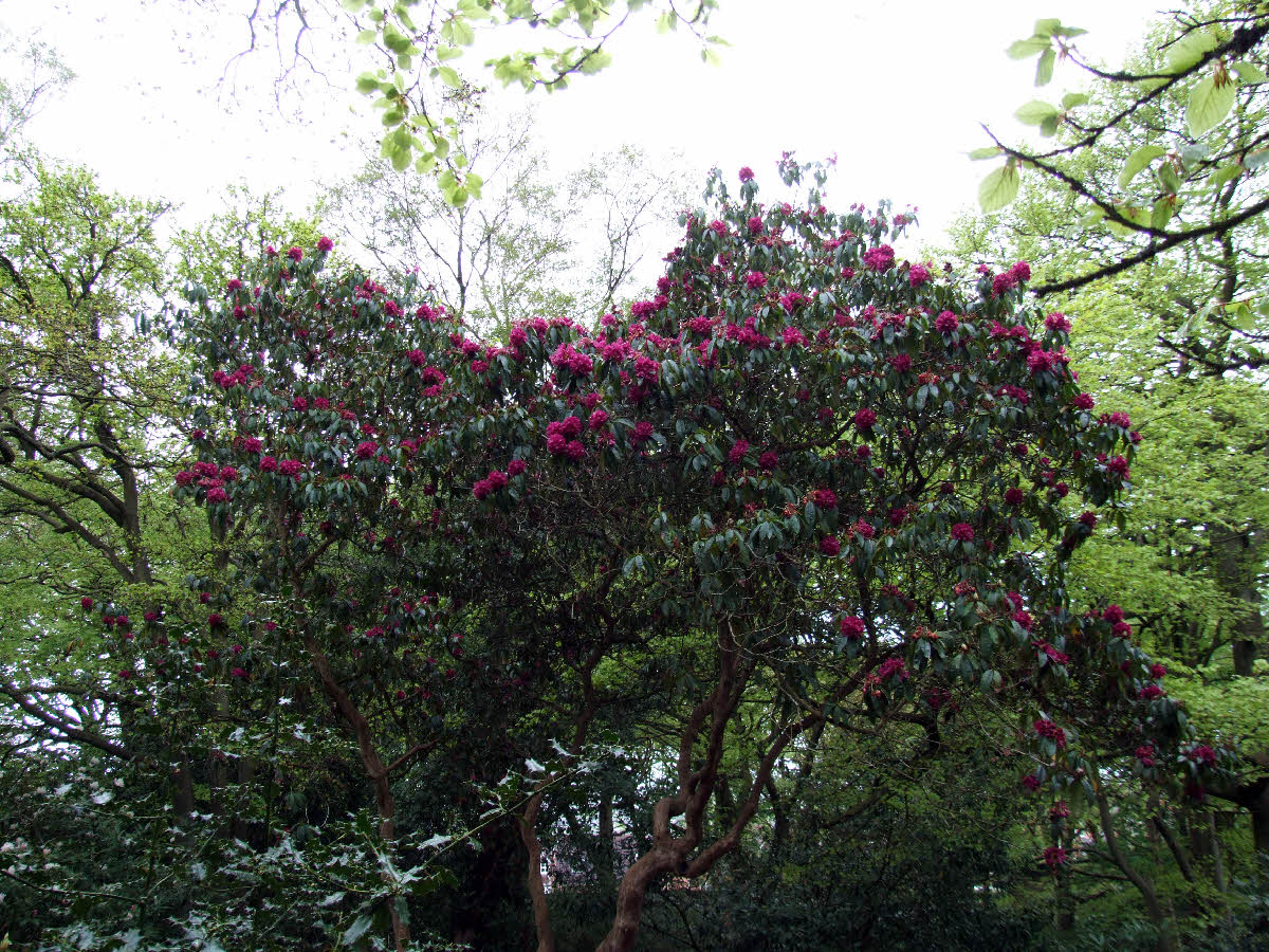"Rhododendron ""Purple Splendour"" tree in Park Wood"