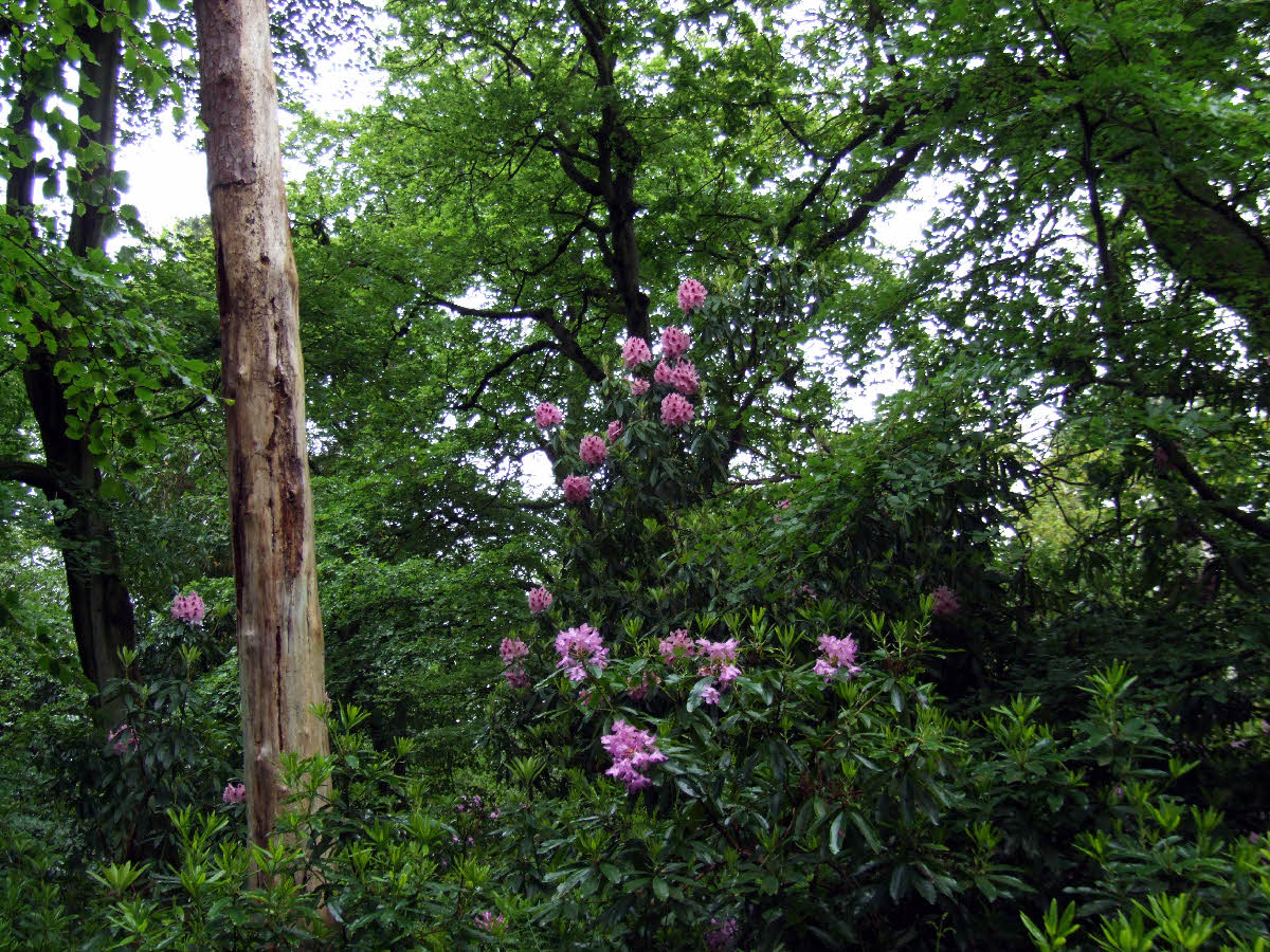 'Marchioness of Lansdowne' tree in Park Wood, 8 June 2012
