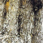 Horse Chestnut bark