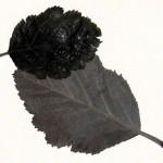 Whitebeam leaves