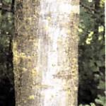 Rowan trunk