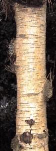 Silver Birch trunk