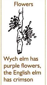 Wych Elm flowers