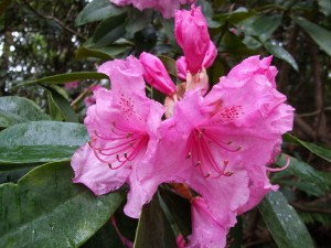 Rhododendron 'Pink Pearl' 'George Hardy' x 'Broughtonii' registered by Waterer pre 1892. 11 May 2012