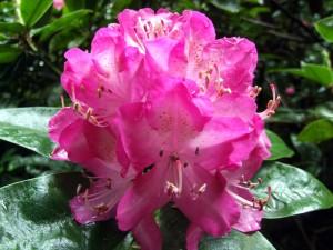 Rhododendron Amphion