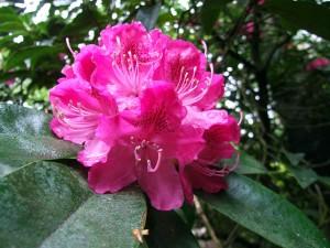 Rhododendron 'Chevalier Felix de Sauvage'caucasicum x un-named Hardy Hybridregistered by C. Sauvage c 18708 June 2012