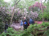 Rainy rhododendron walk, May 2014